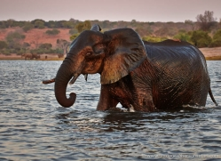 elephant-at-sunset-4493-botswana-copyright-photographers-on-safari