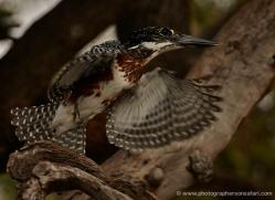 giant-kingfisher-4523-botswana-copyright-photographers-on-safari