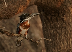 giant-kingfisher-4524-botswana-copyright-photographers-on-safari