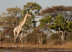 giraffe-4581-botswana-copyright-photographers-on-safari