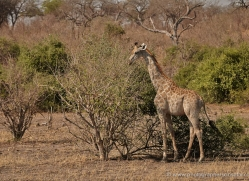giraffe-4582-botswana-copyright-photographers-on-safari