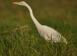 great-egret-4574-botswana-copyright-photographers-on-safari