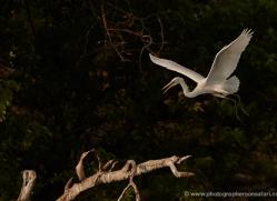 great-egret-4575-botswana-copyright-photographers-on-safari
