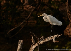 great-egret-4576-botswana-copyright-photographers-on-safari