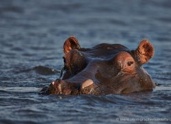 hippopotamus-4496-botswana-copyright-photographers-on-safari