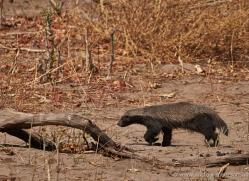 honey-badger-4533-botswana-copyright-photographers-on-safari
