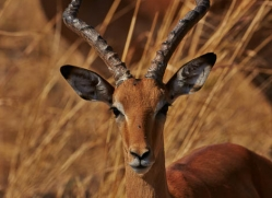 impala-4509-botswana-copyright-photographers-on-safari