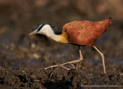 jacana-4552-botswana-copyright-photographers-on-safari