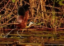 jacana-4561-botswana-copyright-photographers-on-safari
