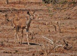 kudu-4503-botswana-copyright-photographers-on-safari
