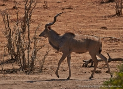 kudu-4504-botswana-copyright-photographers-on-safari