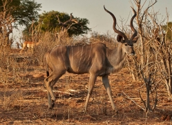 kudu-4505-botswana-copyright-photographers-on-safari