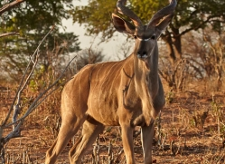 kudu-4506-botswana-copyright-photographers-on-safari