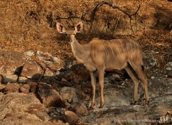 kudu-4507-botswana-copyright-photographers-on-safari