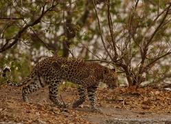 leopard-4501-botswana-copyright-photographers-on-safari
