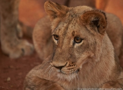lions-4447-botswana-copyright-photographers-on-safari