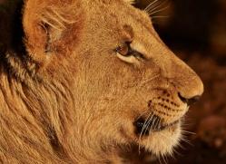 lions-4448-botswana-copyright-photographers-on-safari
