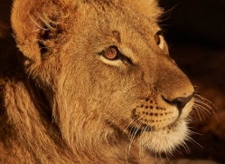 lions-4449-botswana-copyright-photographers-on-safari