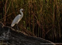 little-egret-4578-botswana-copyright-photographers-on-safari