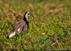 long-toed-plover-4542-botswana-copyright-photographers-on-safari
