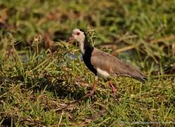long-toed-plover-4543-botswana-copyright-photographers-on-safari
