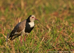 long-toed-plover-4566-botswana-copyright-photographers-on-safari