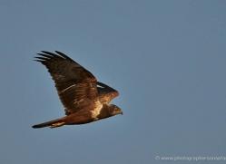 marsh-harrier-4500-botswana-copyright-photographers-on-safari