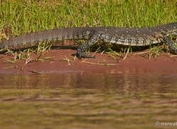monitor-lizard-4551-botswana-copyright-photographers-on-safari