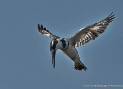 pied-kingfisher-4512-botswana-copyright-photographers-on-safari