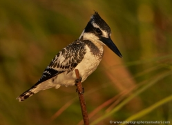 pied-kingfisher-4513-botswana-copyright-photographers-on-safari
