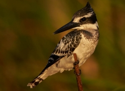 pied-kingfisher-4514-botswana-copyright-photographers-on-safari