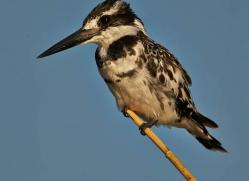 pied-kingfisher-4515-botswana-copyright-photographers-on-safari