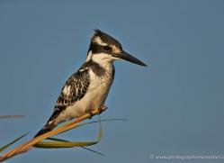pied-kingfisher-4516-botswana-copyright-photographers-on-safari