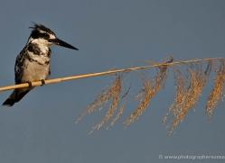 pied-kingfisher-4517-botswana-copyright-photographers-on-safari