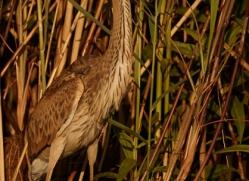 purple-heron-4588-botswana-copyright-photographers-on-safari