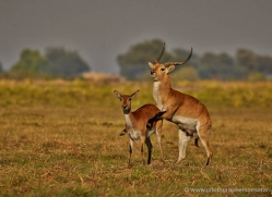 red-lechwe-4558-botswana-copyright-photographers-on-safari
