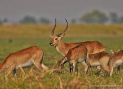 red-lechwe-4559-botswana-copyright-photographers-on-safari