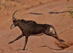sable-antelope-4498-botswana-copyright-photographers-on-safari