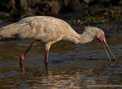 spoonbill-4554-botswana-copyright-photographers-on-safari