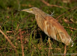 squacco-heron-4572-botswana-copyright-photographers-on-safari