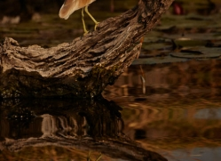 squacco-heron-4573-botswana-copyright-photographers-on-safari