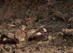 thicknee-4584-botswana-copyright-photographers-on-safari