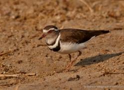 three-banded-plover-4583-botswana-copyright-photographers-on-safari