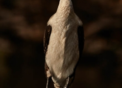 white-chested-cormorant-4528-botswana-copyright-photographers-on-safari