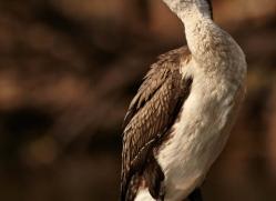 white-chested-cormorant-4529-botswana-copyright-photographers-on-safari