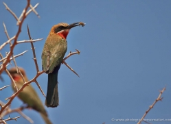 white-fronted-bee-eater-4534-botswana-copyright-photographers-on-safari