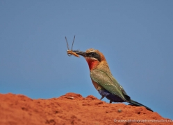 white-fronted-bee-eater-4535-botswana-copyright-photographers-on-safari