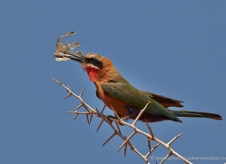 white-fronted-bee-eater-4538-botswana-copyright-photographers-on-safari