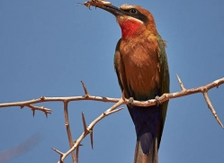 white-fronted-bee-eater-4539-botswana-copyright-photographers-on-safari