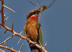 white-fronted-bee-eater-4540-botswana-copyright-photographers-on-safari
